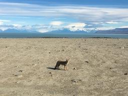 A fox enjoying the views of Lago Viedma and Mt. Fitz Roy